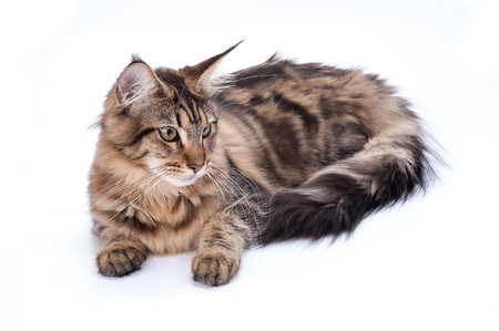maine cat: Maine coon cat, sitting and facing, isolated on white Stock Photo