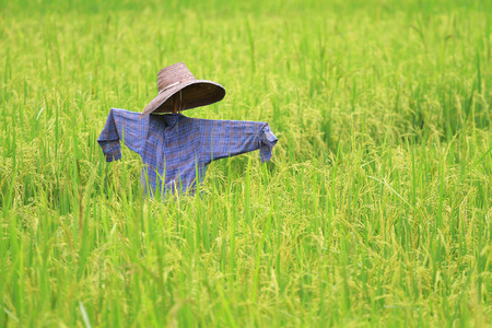 feild: scarecrow with shirt and hat in rice feild