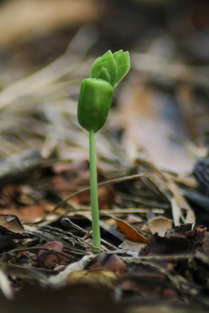 germinate: germinate green seed sprout Stock Photo