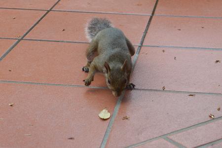 食品を探して灰色リス 写真素材