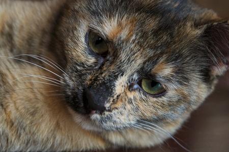 茶色の猫の肖像画をクローズ アップ