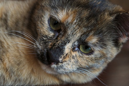 A brown cat portrait close up Stock Photo