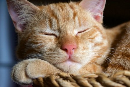 Close up of an orange tabby cat sleeping