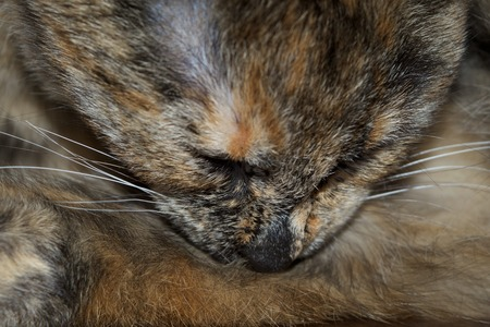 Close up of a brown cat sleeping