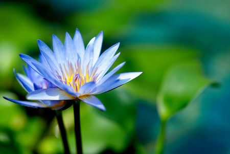 nymphaeaceae: Blue Water Lilies Stock Photo