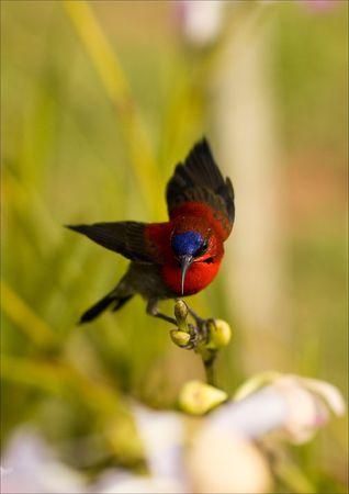 sunbird: Crimson Sunbird shot at Mandai Orchid Gardens, Singapore