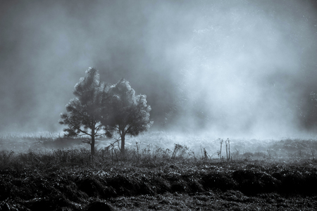 Couple of pine tree in the mystery fog, Yosemite National Park, California USA Фото со стока
