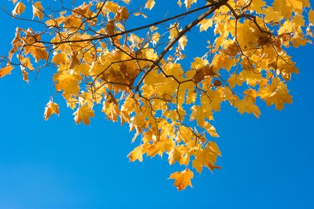 Yellow maple leaves in the sky