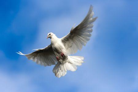 palomas volando: Paloma blanca en el cielo.