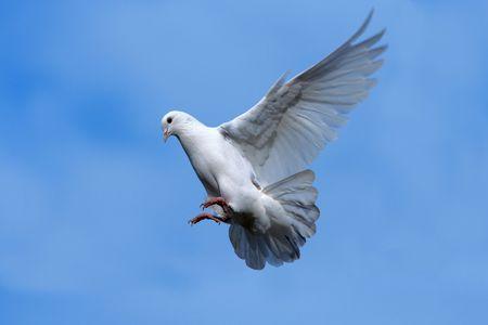 白い鳩が空を飛んでいます。