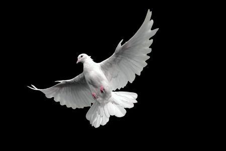 無料飛ぶ白い鳩。黒い背景に分離しました。
