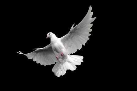 Free flying white dove. Isolated on a black background. Stock Photo