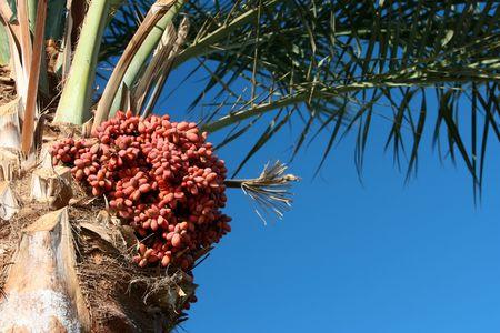 日付ヤシの木と果物の木に掛かっています。