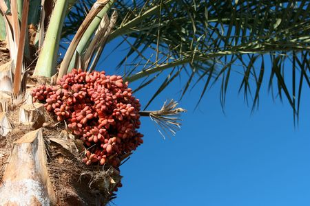 Date palm tree and fruits hanging on the tree