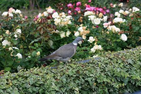 庭で灰色の鳩。 写真素材