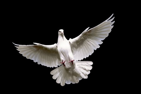 White dove flying in on the Sky. Stock Photo