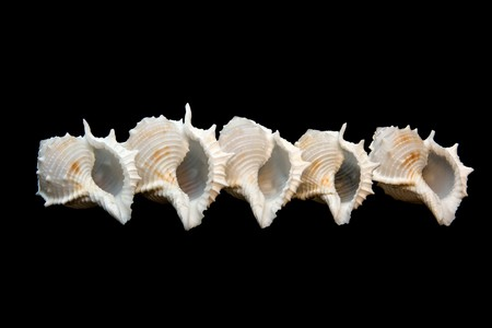 saltwater pearl: Group of isolated conch seashell over black.