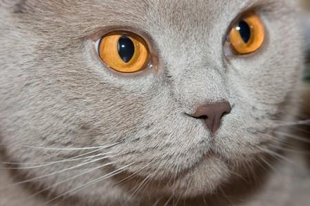 British cat close-up.