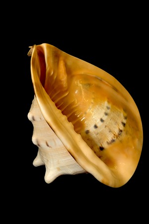 An isolated conch seashell over black.
