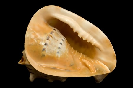 saltwater pearl: An isolated conch seashell over black.