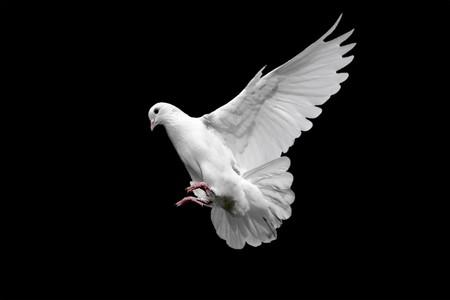 黒に分離された白の鳩 写真素材