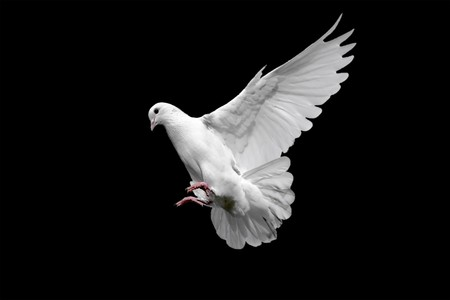 White dove isolated on black Stock Photo