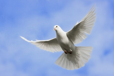 paloma: Paloma blanca volando en el cielo sobre. Foto de archivo