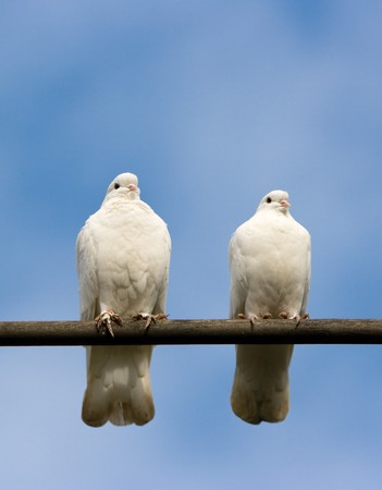Two pigeons on the perch. photo