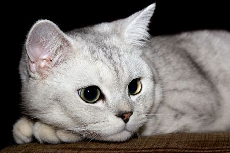 British Shorthair kitty in front close up.