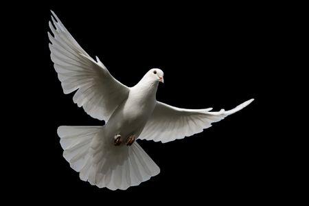 palomas volando: Aislados paloma blanca sobre negro. Foto de archivo