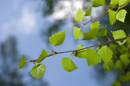 Green birch branch and blue sky Stock Photo