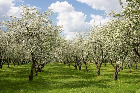 Apple alberi durante fioritura.