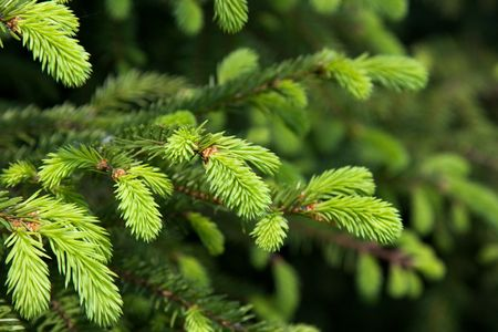 Brightly green prickly branches of a fur-tree or pine Stock Photo