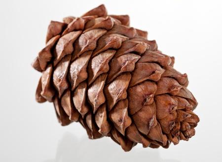 Closeup of a cedar cone; cone of Siberian pine on white background photo
