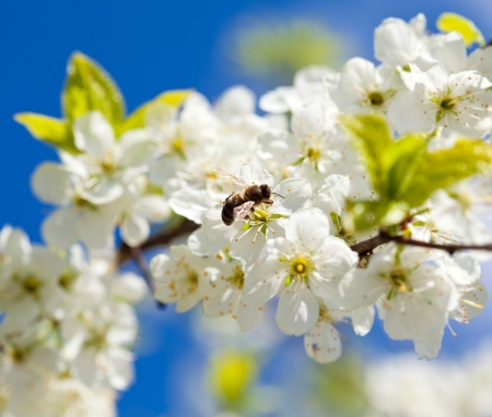 apple honey: Bee on apple blossom; closeup of a beautiful spring apple tree against blue sky, shallow field