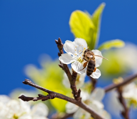 bee pollen: Bee on apple blossom; closeup of a beautiful spring apple tree against blue sky, shallow field