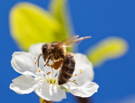 Bee on apple blossom; macro shot of a be on spring apple blossom against blue sky, shallow field photo