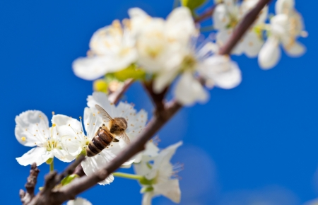 Bee on apple blossom; closeup of a beautiful spring apple tree against blue sky photo