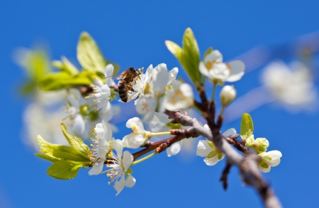 Bee on apple blossom; closeup of a beautiful spring apple tree against blue sky, shallow field photo