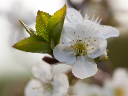Blooming apple tree; beautiful white blossoms, shallow field photo
