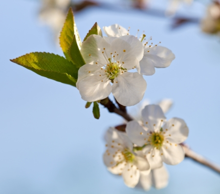 Blooming apple tree; beautiful white blossoms against blue sky, shallow field photo