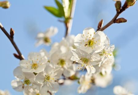 arbol de manzanas: Blooming manzano, las bellas flores blancas contra el cielo azul, campo de poca profundidad