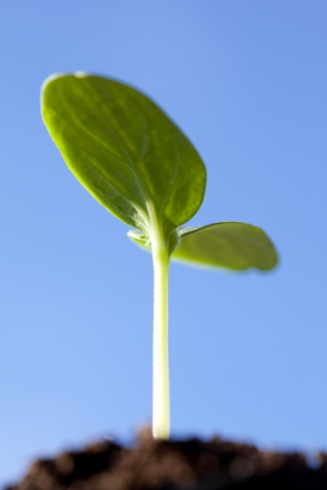 Green seedling in a soil against clear blue sky photo
