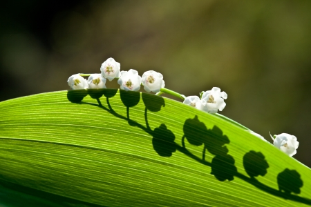may lily: Lily of the valley - beautiful spring flower