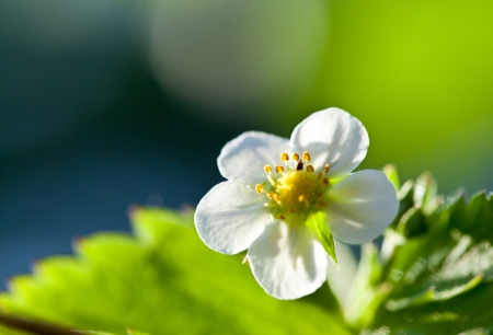 wild strawberry: Wild strawberry blossoming - macro shot of a flower