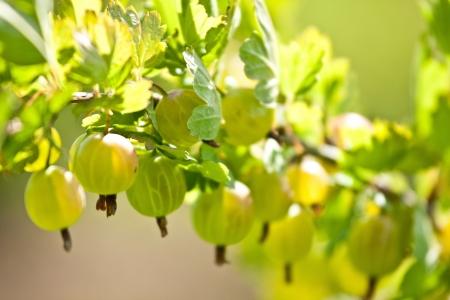 gooseberry bush: Gooseberry branch - closeup shot Stock Photo