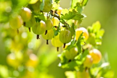 gooseberry bush: Gooseberry Bush - closeup colpo