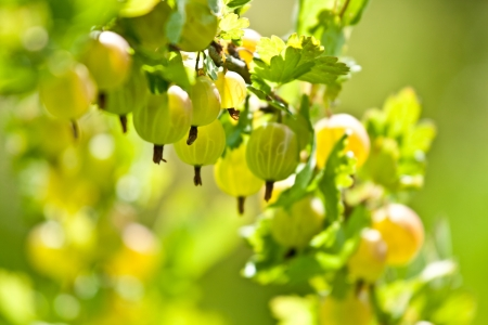 gooseberry bush: Gooseberry bush - closeup shot