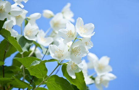 Jasmine flowers on the blue sky background; beautiful jasmin flowers in bloom photo