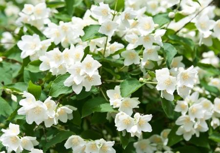 jasmine bush: Jasmine flowers - background; beautiful jasmin flowers in bloom
